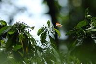 ツマベニチョウ、イワサキタテハモドキ、プレアコイナズマなど(Bali, Indonesia、20170814-0815) - Butterfly & Dragonfly