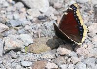 高原のチョウたちキベリタテハ編 - 公園昆虫記