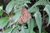 ■ 中型の蝶 3種   17.8.26   (サトキマダラヒカゲ、イチモンジチョウ、クロコノマチョウ) - 舞岡公園の自然2