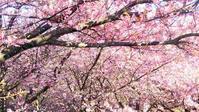 岬めぐり「みさきまぐろきっぷ」で三浦海岸に 河津桜 - greensleeves.poplar