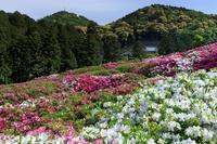 三室戸寺・ツツジ咲き乱れる山 - 花景色-K.W.C. PhotoBlog