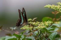 アオスジアゲハ - あだっちゃんの花鳥風月