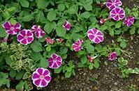 朝顔の花の成長記録  37 - 心の写真
