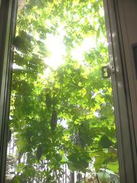 2017年緑のカーテン実がたわわ - ヨガと官足法で素敵生活