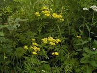 黄色い野草 - 冬青窯八ヶ岳便り