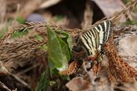 本日の1枚2017年5月5日「この日は特異的に多くのギフチョウ属が観察できました。」 - 安曇野の蝶と自然