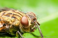 ハエと蛾の体毛の違い - 神は細部に宿る