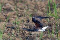 ツバメチドリ - 比企丘陵の自然