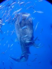 8月29日やっぱり早朝は綺麗だな~ - 沖縄・恩納村のダイビング・青の洞窟体験ダイビング・スノーケルご紹介