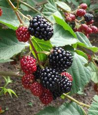 ブラックベリーほか、庭の恵みの収穫とカシス酒のことなど - 窓の向こうに