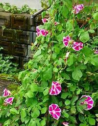 朝顔の花の成長記録  39 - 心の写真