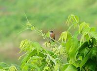 ホオジロ・カワセミ、浅川 - 浅川野鳥散歩