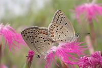 本日の1枚2017年7月9日15時23分「クロツバメシジミの交尾」 - 安曇野の蝶と自然