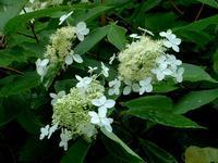 サビタの花(ノリウツギ)・2 - 野に咲く北国の花