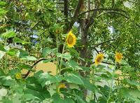 ◆夏の向日葵に癒される&次女猫ちゃん、ウチの子記念日(^ω^) - ☆彡ちいさな幸せ☆彡別館