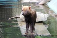 京都市動物園のヤブイヌたち - どうぶつたちと私
