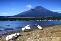 29年8月の富士(9)白鳥と富士 - 富士への散歩道 ~撮影記~