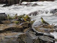 アオバト 日本海の磯で② - 今日の鳥さんⅡ