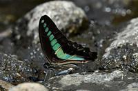 アオスジアゲハの吸水排水 - 旅のかほり
