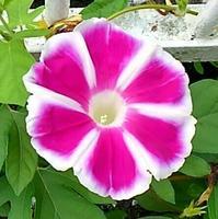 朝顔の花の成長記録  40 - 心の写真