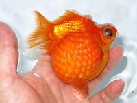 8月31日☆新着金魚のご紹介です。 - フルタニ金魚倶楽部blog