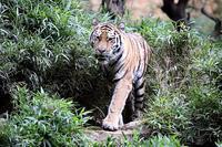 サマーナイト@Tama Zoo 2017のアムールトラ - 動物園放浪記
