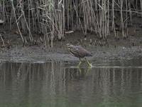 ササゴイの幼鳥 - コーヒー党の野鳥と自然 パート2