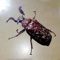 ヒゲコガネ - 虫と