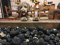 """トリュフ犬""""MOKO"""" サマートリュフに出会う🐶 - ITALIA Happy Life イタリア ハッピー ライフ -Le ricette di Rie-"""
