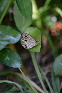 ウラナミジャノメ 9月2日 - 超蝶