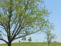 シナサワグルミの果実がたくさんぶら下がっています。 - デジカメ散歩悠々