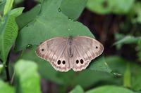 真夏の草原のチョウたちその1オオヒカゲ等諸々(2017/08/06) - Sky Palace -butterfly garden- II