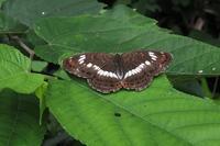 ■中・大型の蝶 3種17.9.10(イチモンジチョウ、カラスアゲハ、ツマグロヒョウモン) - 舞岡公園の自然2