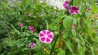 朝顔の花の成長記録  43 - 心の写真