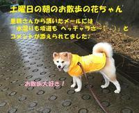 祝♪春菜ちゃん、正式譲渡🎵🎵 - もももの部屋(怖がりで攻撃性の高い秋田犬のタイガ、老犬雑種のベスの共同生活&保護活動の記録です・・・時々お空のモカも登場!)