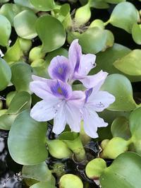 ホテイアオイの花 - 「今日の一枚」
