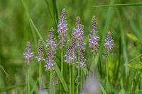 多摩川の土手に咲くツルボ - あだっちゃんの花鳥風月