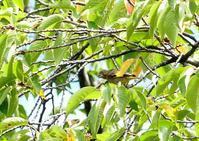 カワラヒワとオナガの群れ、浅川 - 浅川野鳥散歩