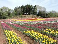 世羅の花 - 花