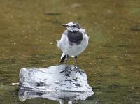 今日の鳥さん 170904 - 万願寺通信