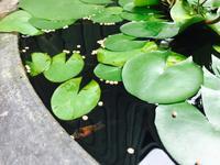 水鉢の中のファミリー - Healing Garden  ー草庭ー