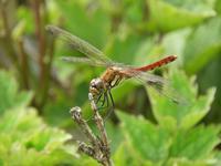 伊吹山の昆虫(甲虫以外) - あれも見たいこれも見たい