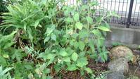 ようやくアジサイ剪定 - うちの庭の備忘録 green's garden