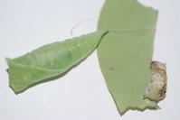 アオスジアゲハの蛹化 - 埼玉南部の昆虫等生物観察