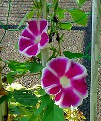 朝顔の花の成長記録  46 - 心の写真