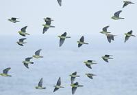 アオバト2 - TACOSの野鳥日記