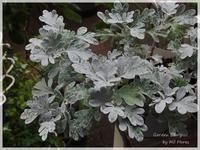 "Artemisia ""Mori's Strain"" - Garden Diary"