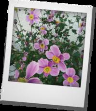 秋明菊とネメシア メーテル - khh style