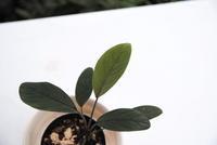 "Homalomena sp. 'Garuda-wing' 緑軸 ""Pulau Lingga"" - PlantsCade -2nd effort"