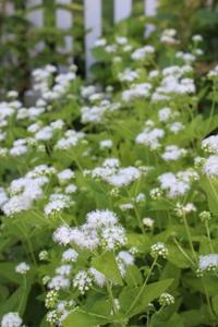 アンニュイなノリウツギ - HOME SWEET HOME ペコリの庭 *